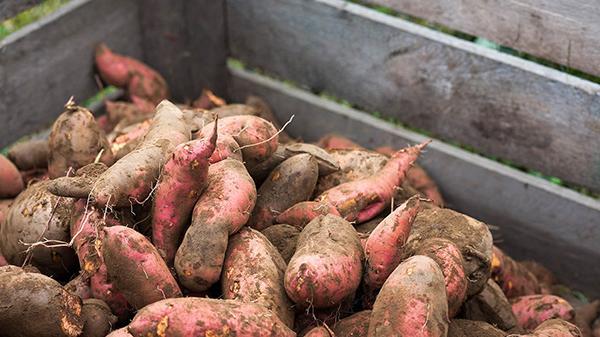 Sweet potatoes contain antibacterial properties