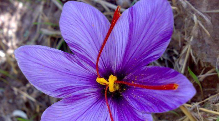 history of Iran saffron
