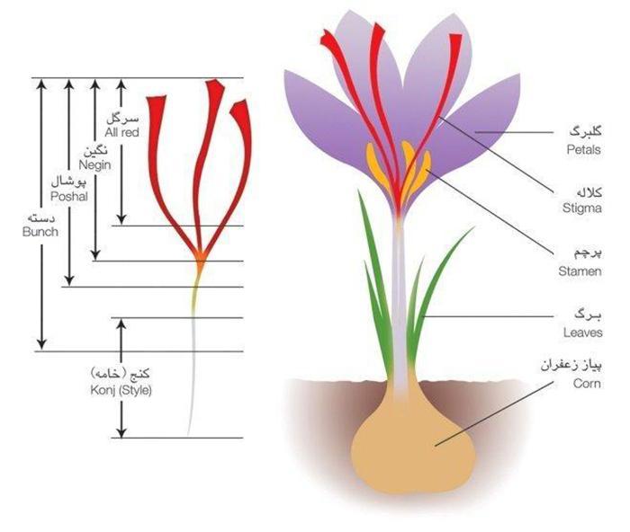 The nutritional value of Iranian saffron